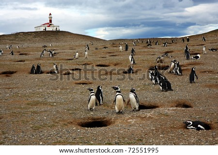 Magellan penguins on an island with a lighthouse in Chile - stock photo