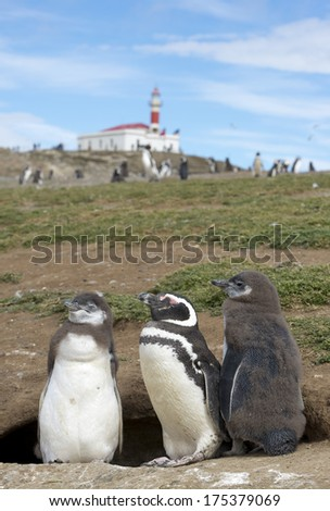 Magellanic penguins on the Magdalena Island national park, Chile - stock photo