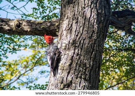 Magellanic Woodpecker (Campephilus magellanicus) at National Park Los Glaciares, Patagonia, Argentina - stock photo