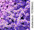 Magenta aster flowerbed under sunlight - stock photo