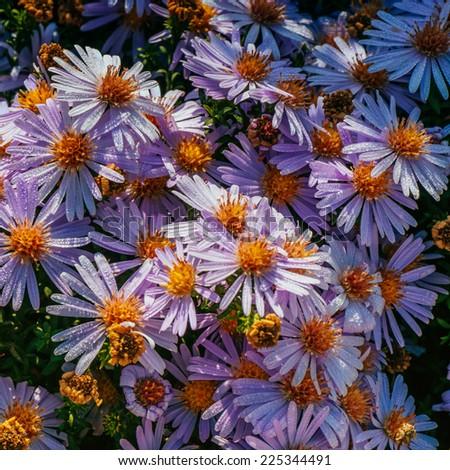 Magenta aster flowerbed under sunlight  - stock photo