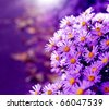 Magenta asters flowerbed. Shallow depth of field - stock photo