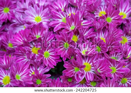 Magenta asters lawn. Shallow Depth Of Field. - stock photo