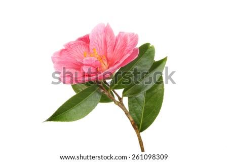 Magenta camellia flower and foliage isolated against white - stock photo