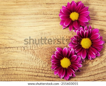 Magenta Chrysanthemums Flowers on wooden background - stock photo