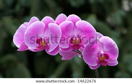 Magenta colored vibrant orchids against a soft green foliage background