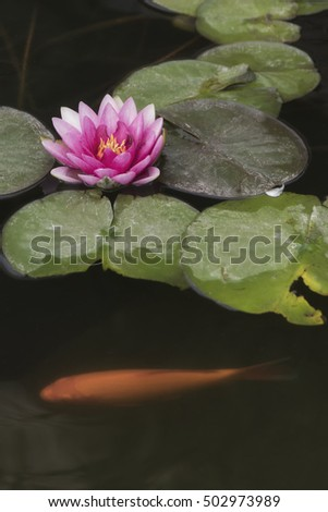 Magenta colored waterlilies with golden Koi Carp fish