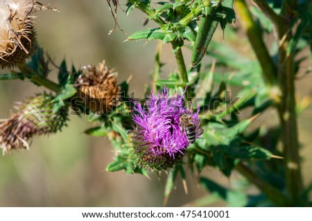 Magenta flowers of thistle in nature.