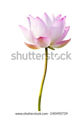 magenta lotus flower Isolated on white background. - stock photo