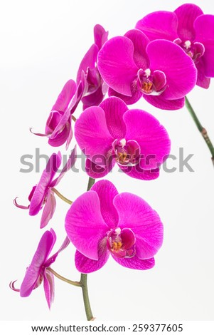 Magenta Moth orchids close up over white background - stock photo