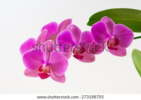 Magenta orchid branch on light background - stock photo