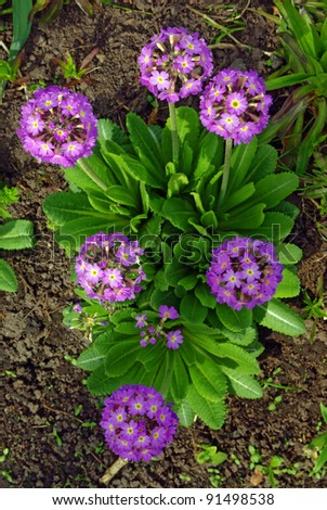 Magenta primrose (primula vulgaris) one of the first flowers to blossom in spring - stock photo