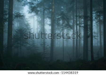 Magic and foggy morning spruce forest. - stock photo