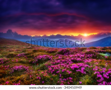Magic pink rhododendron flowers glowing by sunlight. Dark overcast sky in the morning. Dramatic and picturesque scene, Location Georgia. Europe. Beauty world. Creative collage. Soft filtered effect. - stock photo
