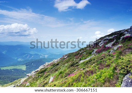 Magic pink rhododendron flowers in the mountains. Summer sunrise - stock photo