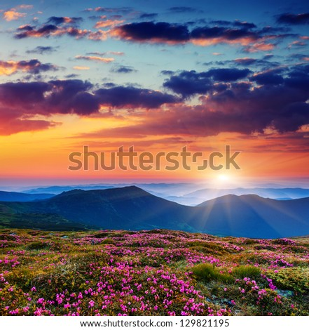 Magic pink rhododendron flowers on summer mountain.Carpathian, Ukraine. - stock photo