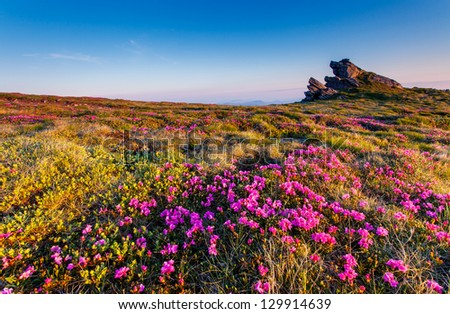 Magic pink rhododendron flowers on summer mountain.Carpathian, Ukraine. Europe - stock photo