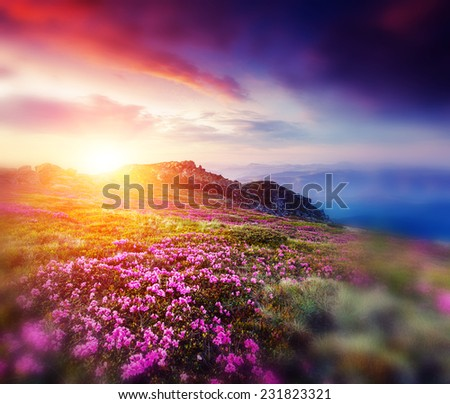 Magic pink rhododendron flowers on summer mountain.Carpathian, Ukraine. Europe. Retro style filter. Instagram toning effect. Tilt Shift blur effect. - stock photo