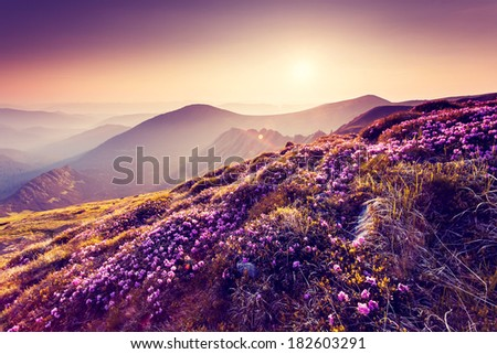 Magic pink rhododendron flowers on summer mountain. Colorful sky. Carpathian, Ukraine, Europe. Beauty world. - stock photo