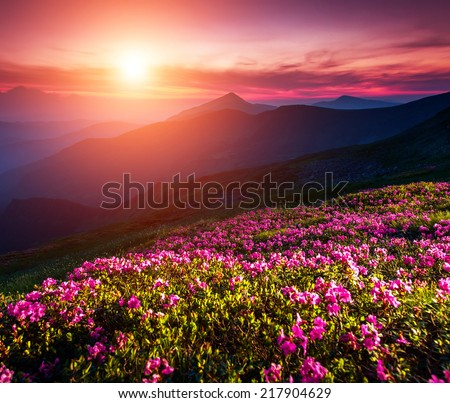 Magic pink rhododendron flowers on summer mountain. Dramatic overcast sky. Carpathian, Ukraine, Europe. Beauty world. - stock photo