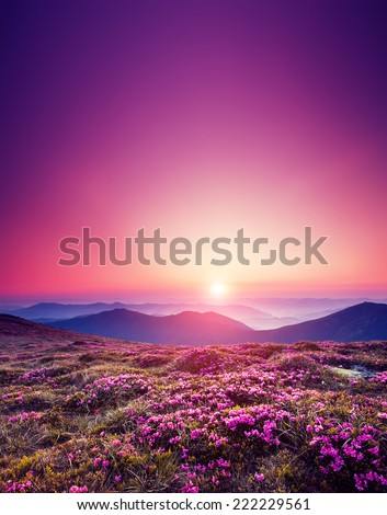Magic pink rhododendron flowers on summer mountain. Dramatic scenery. Carpathian, Ukraine, Europe. Beauty world. - stock photo