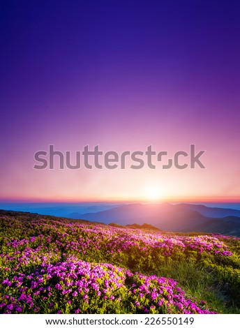 Magic pink rhododendron flowers on summer mountain. Dramatic scenery. Carpathian, Ukraine, Europe. Beauty world. - stock photo