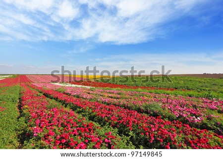 Magic spring. Vast fields of red flowers Ranunculus. Flowers are grown for export - stock photo
