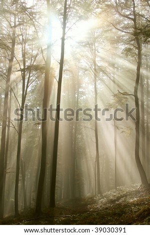 Magic sunlight falls into the misty beech forest. Photo taken in early autumn.