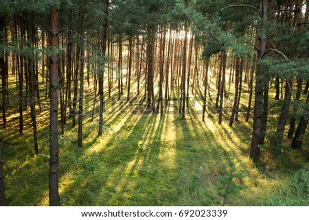 Magical forest - sunrays shining through the trees