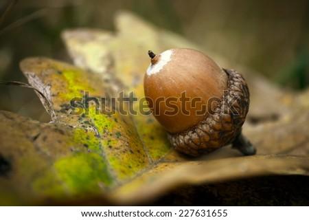 Magical photo of oak acorn in sunset - stock photo