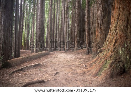 Magical redwoods near the lake Rotorua, New Zealand - stock photo