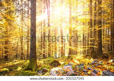Magical shiny golden autumn sunlight with beams in morning forest. Lovely autumn season golden shiny light in forest landscape. - stock photo