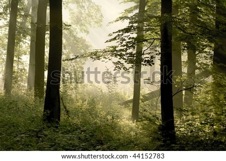 Magical spring forest surrounded by fog in the light of the rising sun. - stock photo