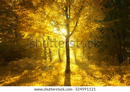 Magical sunny light in golden color autumn season forest landscape. Beautiful sunny bright forest tree with gold colored leaves. - stock photo