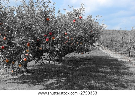 Magical / surreal apple orchard in false color similar to infrared with extra processing returning the color to the blue sky and red apples in foreground. - stock photo