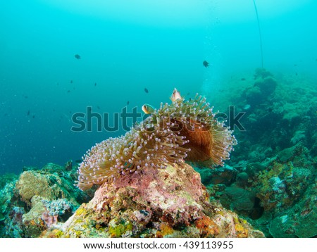 Magnificent Anemone with fish
