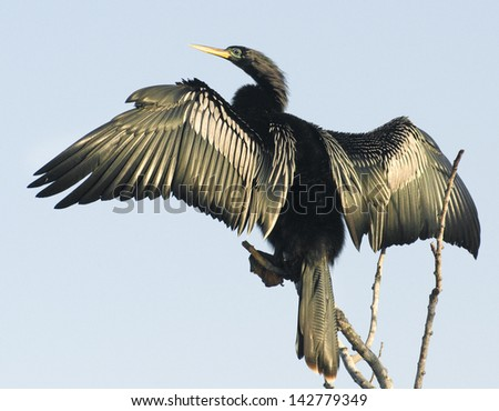 Magnificent Anhinga Bird Spreading Wings