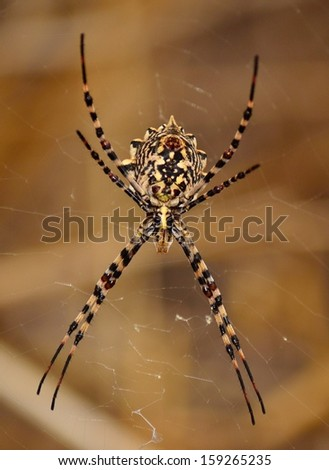 Magnificent argiope argentata waiting on its web