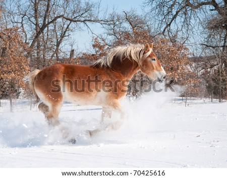 Magnificent Belgian Draft horse charging through deep snow on a bright cold winter day