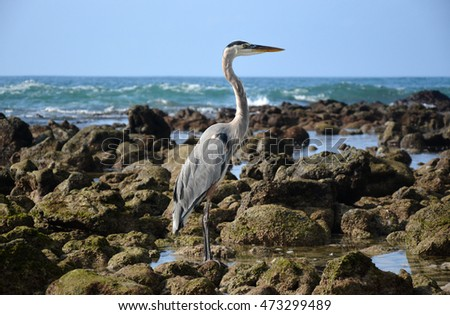 Magnificent Blue Heron posing, ''Isabela'' island in the Galapagos Island