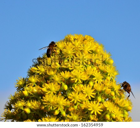 Magnificent cluster of aeonium undulatum in all its splendor with several worker bees collecting the exquisite pollen on its little yellow flowers, with a natural background of radiant blue sky  - stock photo
