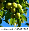 Magnificent cluster of splendid green plums hanging from the tree branch and between leaves, on unfocused natural background and blue sky - stock photo
