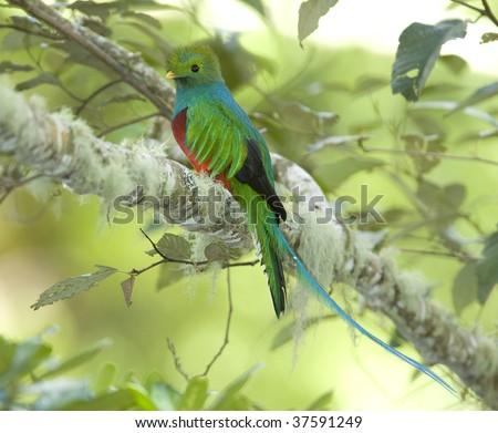 magnificent costa rican resplendent quetzal , savegre mountain, San Gerardo de dota, costa rica. vibrant colorful exotic bird in lush tropical jungle - stock photo