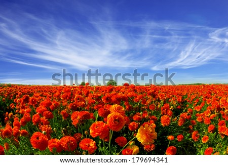 Magnificent field of bright red buttercups. Kibbutz grows beautiful garden buttercups for sale abroad - stock photo