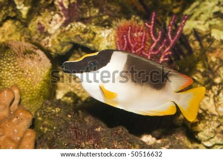 Magnificent Foxface or Rabbitfish in Saltwater Aquarium - stock photo