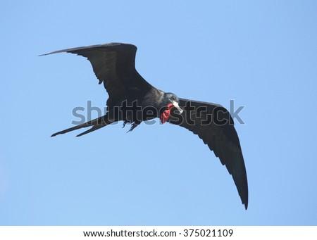 Magnificent Frigatebird - stock photo