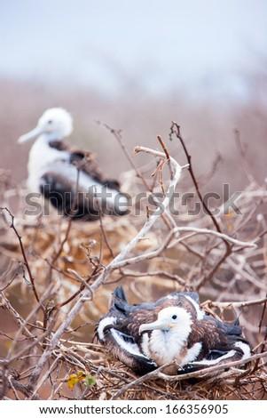 Magnificent frigatebird chicks at Galapagos Island of  North Seymour - stock photo