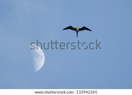 Magnificent Frigatebird (Fregata magnificens) flying past the moon, Costa Rica - stock photo