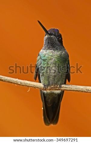 Magnificent Hummingbird, Eugenes fulgens, exotic bird with orange clear nature background, Savegre, Costa Rica - stock photo