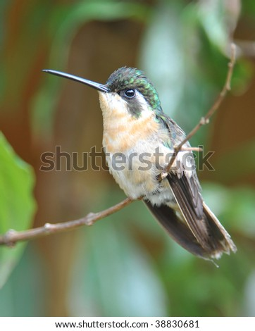 magnificent hummingbird female sitting on twig, costa rica